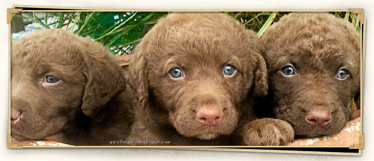 Our new Chesapeake Bay Retriever puppy discovered the ... |Chesapeake Bay Retriever Pups